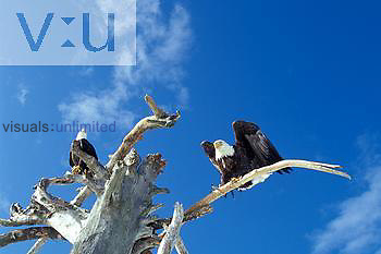 Two Bald Eagles on a tree snag ,Haliaeetus leucocephalus,.