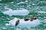 Harbor Seals hauled out onto icebergs in Endicott Arm near Dawes Glacier in Alaska's Inside Passage, Tracy Arm-Fords Terror Wilderness Area in the Tongass National Forest.