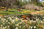 McLaughlin's Daffodil Hill in bloom, Volcano, Calif.