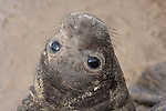 elephant seal weaned pup