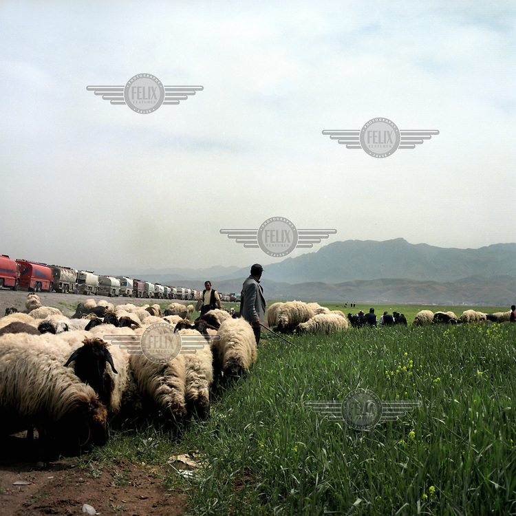 A man gathers his flock of sheep near the queue of petrol trucks that are waiting to get inside of Northern Iraq.
