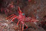 Red Shrimp-Ternate Cleaner, Lysmata ternatensis, Underwater macro marine life images;  Photographed in Tulamben; Liberty Resort; Indonesia.Underwater Macro Photographer on FB 2nd Annual event