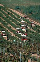Aerial view of workers harvesting grapes in vineyard, California