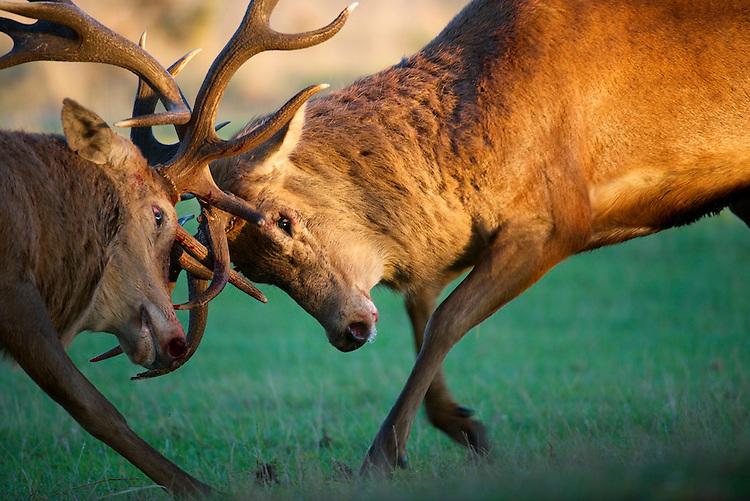 Red deer (Cervus elaphus) stags fighting during the rut at Bushy park, London