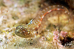 Emblemariopsis bottomei, Southern smoothhead glass blenny, Bonaire