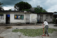 A coca farmer sweeps up his pile of coca leaves, which were left to dry, before packing them into bags to sell in Eterazama, Bolivia.
