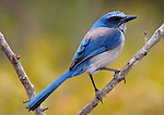 Florida Scrub Jay, Aphelocoma coerulescens, on branch.USA....