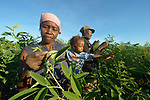 Rose Marie Pierre, her son Dolson, and her husband Camilus Remy inspect their field of Congo beans in Picmy, a village on the Haitian island of La Gonave where Service Chr&eacute;tien d&rsquo;Ha&iuml;ti is working with survivors of Hurricane Matthew, which struck the region in 2016.<br /> <br /> SCH, a member of the ACT Alliance, supports agriculture on the island by providing tools, seeds, and technical support and training for farmers.
