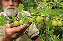Peter Emerson with some of his Gooseberries bushes growing around his Rhubarb Cottage in North Belfast Wednesday July 3rd, 2019. (Photo by Paul McErlane for the Belfast Telegraph)
