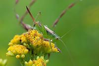 Short-winged Meadow Katydid; Conocephalus brevipennis; Katydid; on Grass-leaved Goldenrod; Euthamia gramnifolia; PA, Philadelphia, Morris Arboretum; Tettigoniidae; Orthoptera; insect;