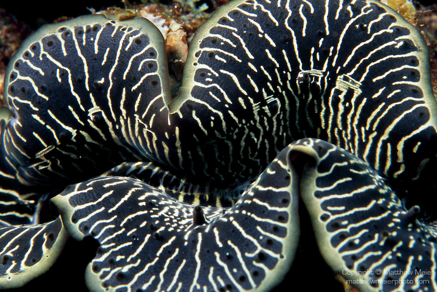 Milne Bay, Papua New Guinea; Giant clam (Tridacna maxima), to 30 cm (2 ft.), found in Western Pacific coral reefs, Indian Ocean and the Red Sea , Copyright © Matthew Meier, matthewmeierphoto.com All Rights Reserved