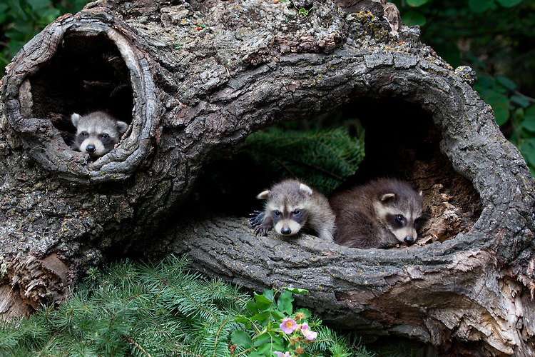Trio of baby Raccoons hanging out in a hollow log - CA