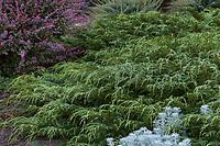 Microbiota decussata (Siberian Carpet Cypress) with Berberis thunbergii 'Rose Glow' (Barberry) on left Albers Vista Gardens