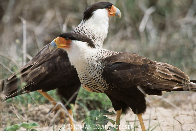 Pair of Crested Caracaras on the ground in South Texas.