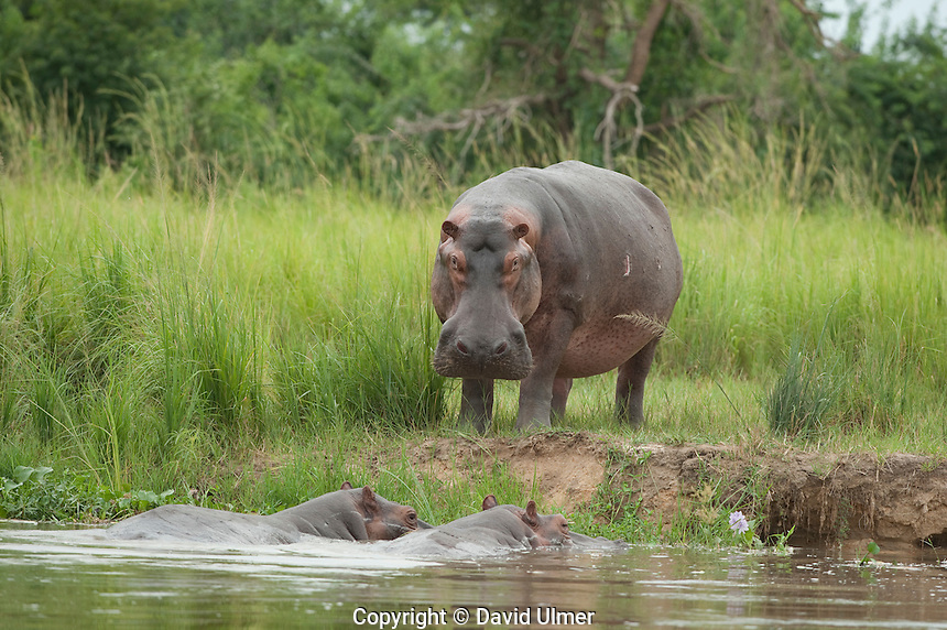 Hippopotamus on bank of the Nile River, Murchison Falls National Park, Uganda.