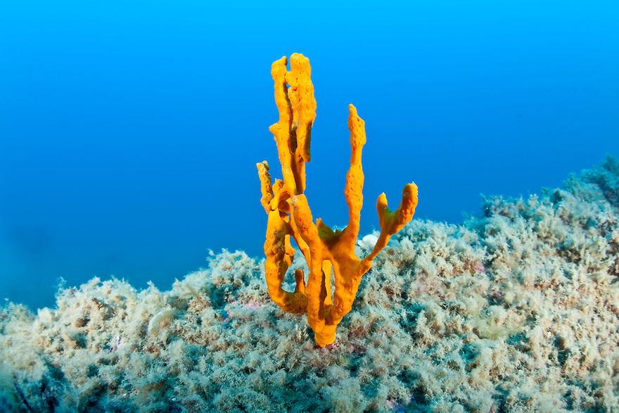 Tube sponge (Axinella cannabina) Larvotto Marine Reserve, Monaco, Mediterranean Sea<br /> Mission: Larvotto marine Reserve