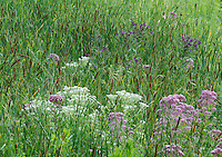 Cattails and Jo Pye Weed and wildflowers create a pattern on the prairie, Lockport Prairie Nature Preserve, Will County, Illinois