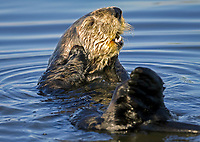 Southern sea otter or California sea otter, Enhydra lutris nereis, grooming his face, Monterey Bay National Marine Sanctuary, Monterey, California, USA, Pacific Ocean