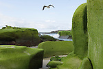 Windansea, La Jolla, California; a seagull flys over the algae on the rocks at low tide, late afternoon in winter