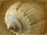 Close up of Sliced Grey Bonnet sea shell.