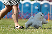 Jamie bennett shows her maltese dog Quincy during the Charlottesville-Albemarle Kennel Club Dog Show Saturday at Foxfield in Charlottesville, VA. A separate dog show continues on Sunday with a special police dog demonstration at 1 p.m. Photo/Andrew Shurtleff