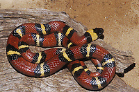 Mexican Milk Snake (Lampropeltis triangulum annulata), adult sunning, Starr County, Rio Grande Valley, Texas, USA