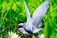 Weißbart-Seeschwalbe, Weißbartseeschwalbe, Paar am Nest, Seeschwalbe, Seeschwalben, Chlidonias hybrida, Chlidonias hybridus, Whiskered tern, Seeschwalben, Sternidae, terns, flight, Guifette moustac