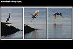 Heron taking flight. .  John leads private, wildlife photo tours throughout Colorado. Year-round.