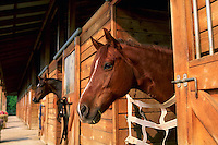 Horses peer out their stalls in a stable.