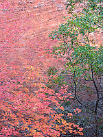 Brilliant fall colors of reds and yellow are displayed in Zion National Park in Utah.