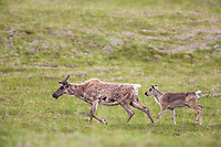 Caribou cow and calf walk across the summer tundra in Denali National Park, Alaska.