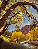 Fall colored Cottonwood Trees and Fremont River. Capitol Reef National Park, Utah