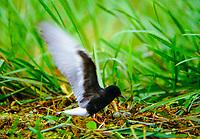Weißflügel-Seeschwalbe, am Nest, Weißflügelseeschwalbe, Seeschwalbe, Seeschwalben, Chlidonias leucopterus, White-winged Tern, White-winged Black Tern