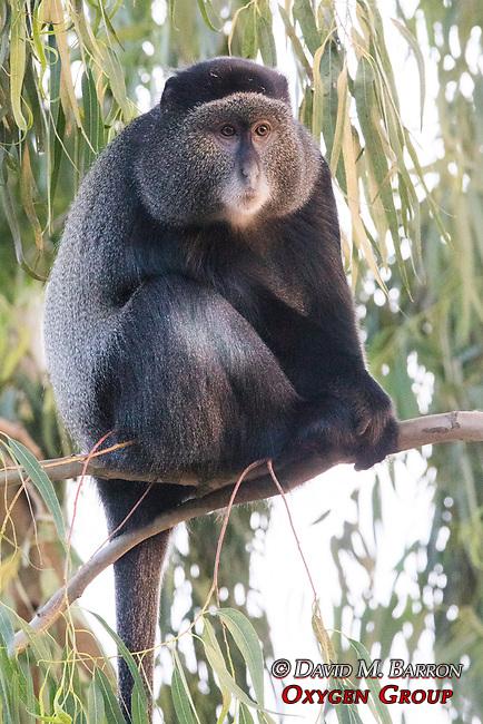 Blue Monkey At Lake Bunyonyi Eco Resort
