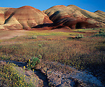 John Day Fossil Beds National Monument, OR<br /> Colors of the Painted Hill with yellow Bee Plant and John Day Chaenactis