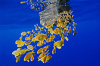 freckled driftfish, Psenes cyanophrys, sheltering under abandoned plastic gasoline tank in open ocean, off Kona coast, Big Island, Hawaii, Pacific Ocean