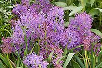 Muscari comosum 'Plumosum'