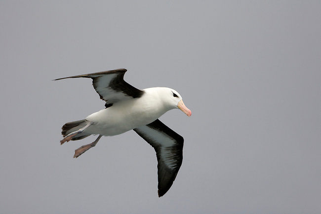 Black-browed albatross plays in the wind currents off the back of a ship. Southern Ocean. Antarctica