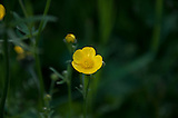 Yellow Bulbous Buttercup, a wildflower seen on Roan Mountains