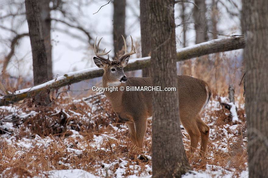 00274-309.10 White-tailed Deer Buck (DIGITAL) with 10 pt. antlers pauses while feeding on acorns in oak forest after snow.  Hunting.  H4L1