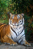684089349 a wildlife rescue siberian tiger panthera tigris altaicia an endangered species poses among thick foliage at a wildlife rescue facility in southern california
