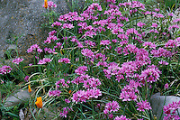 Allium unifolium (Wild Onion) wildflower, pink flowering onion, California native plant in spring garden