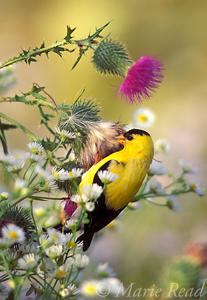 American Goldfinch (Carduelis tristis) male clinging to feed on seeds of thistle plant, Ithaca, New York, USA<br /> Slide B167-180