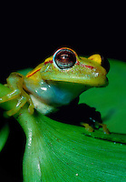 Close up detail of the face of a Tree frog in the Amazon Jungle. Peru.