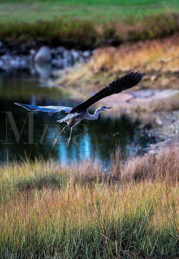Great Blue Heron in flight, Burnt Cove, Deer Island, Maine, USA