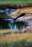 Great Blue Heron in flight, Burnt Cove, Deer Island, Maine, USA