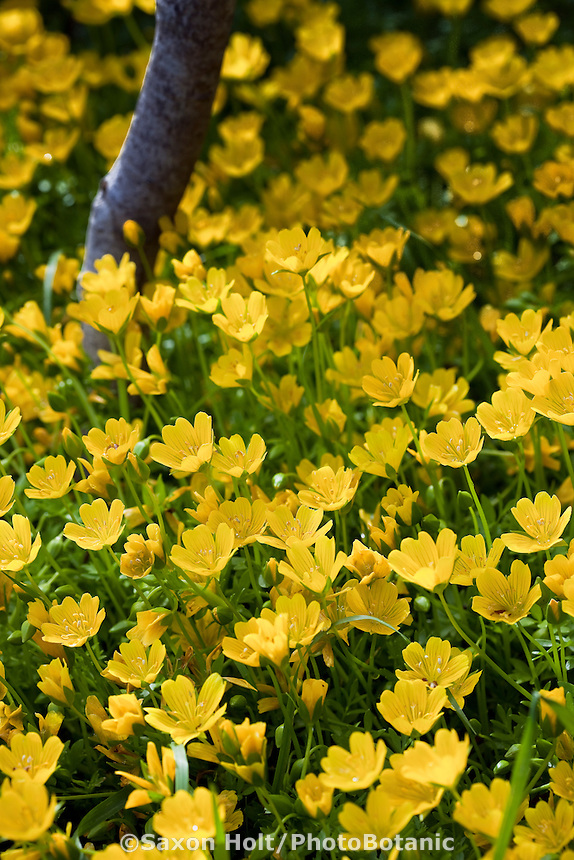 Yellow wildflower - meadow foam (Limnanthes douglasii var. sulphurea) rare  yellow flower annual in California native plant garden, Tilden, East Bay Regional Park