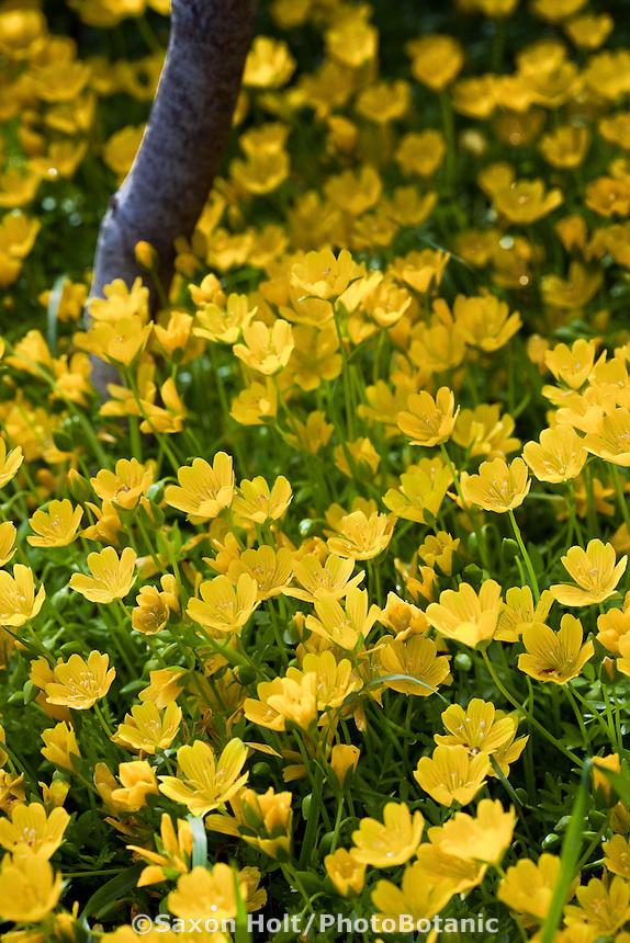 Yellow wildflower - meadow foam (Limnanthes douglasii var. sulphurea) rare  yellow flower annual in California native plant garden, Tilden, East Bay Regional Park