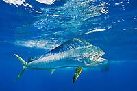 dorado, mahi mahi, or dolphin fish, Coryphaena hippurus, chasing bait, off Isla Mujeres, near Cancun, Yucatan Peninsula, Mexico (Caribbean Sea)