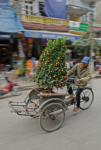 Asia, Vietnam, Ninh Binh. Vietnamese cyclo driver transporting an orange tree.